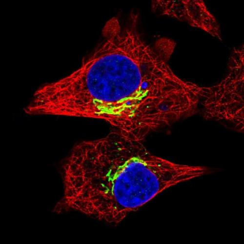 Enter the exciting world of immunofluorescence (IF)